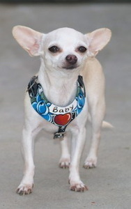 Tattoo X-small leather dog harness/cat harness Chihuahua,Yorkie